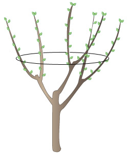 Fruit Trees Pruning