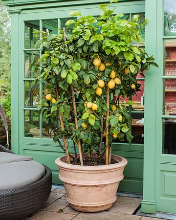 citrus trees in pots. Black Bedroom Furniture Sets. Home Design Ideas