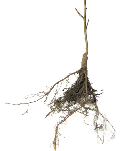 Bare rooted plants