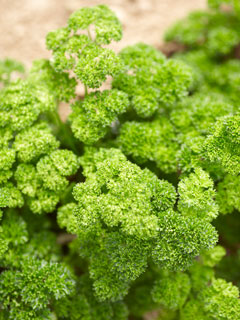 Curly Parsley is also very efficient to catch pollution: not to be ingested in polluted area, just used as a decoration!
