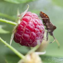 Look after Raspberry bushes
