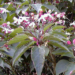 Harlequin Glorybower - Clerodendrum trichotomum 'Fargesii'