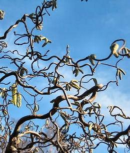 Branche noisetier tortueux