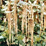 Coast Silk Tassel - Garrya elliptica 'James Roof'