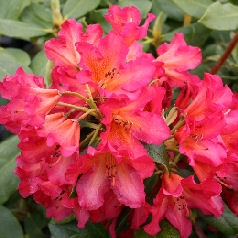 Golden Gate Rhododendron
