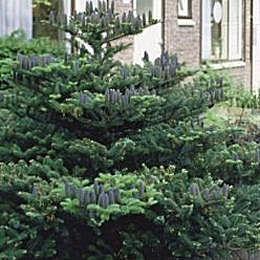 Korean Fir - Abies koreana