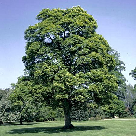 Norway Maple - Acer platanoides