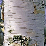 Paper Birch or Canoe Birch - Betula papyrifera or Betula grandis