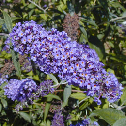Buddleia or Butterfly bush 'Adonis blue Adokeep' - Buddleia davidii or Buddleia variabilis
