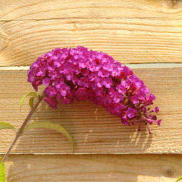 Buddleia or Butterfly bush 'Royal Red' - Buddleia davidii or Buddleia variabilis