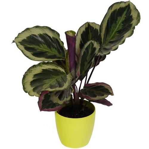 Calathea 39 shinestar 39 lime cachepot buy calathea Calathea plants for sale