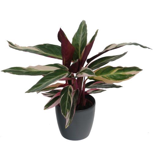 Calathea 39 triostar 39 anthracite cachepot buy calathea Calathea plants for sale