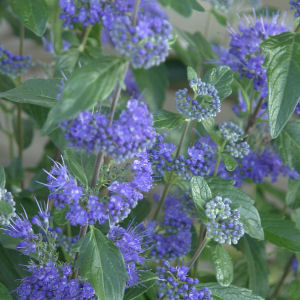 Bluebeard 'First Choice' - Caryopteris x clandonensis 'First Choice'