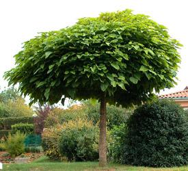 Catalpa tree question - UBC Botanical Garden Forums