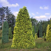 Lawson Cypress - Chamaecyparis lawsoniana