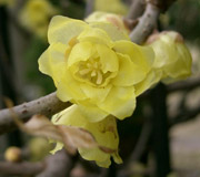Wintersweet - Chimonanthus praecox - Flowers