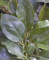 Camphor tree: Foliage