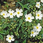 Laurel Leaved Rockrose - Cistus laurifolius