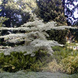 Wedding Cake Tree - Cornus Controversa Variegata