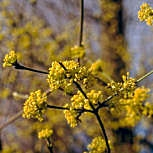 Cornelian Cherry Dogwood or European Cornel