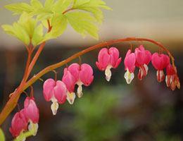 'Gold Heart' Bleeding Heart - Dicentra spectabilis 'Gold Heart'