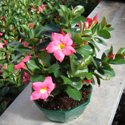 Dipladenia pink buy dipladenia pink dipladenia sanderi for Dipladenia sanderi