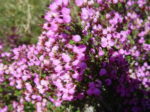 Spanish Heather - Erica australis