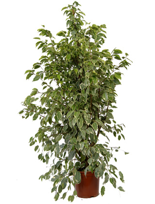 Ficus 'Golden King' - Pot D. 21 cm - Ficus 'Golden King' - Indoor plant