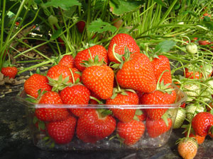Strawberry plant 'Matis' - Fragaria vesca 'Matis'