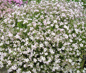 Creeping Gypsophila, Baby's Breath - Gypsophila repens