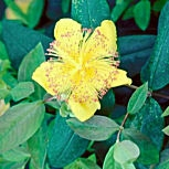 Rose of Sharon - Aaron's beard - Hypericum calycinum