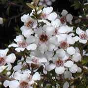 Leptospermum scoparium 'Snow Flurry'