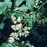 Oval Leaved Privet - Ligustrum ovalifolium - Ligustrum californicum - Ligustrum medium