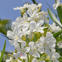 Rose Bay with White flowers - Nerium oleander alba