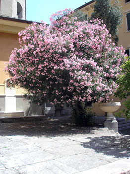Rose Bay with Pink flowers - Nerium oleander rosea