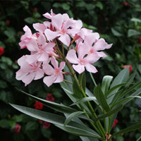 Rose Bay with Pink flowers - Nerium oleander rosea - Flowers