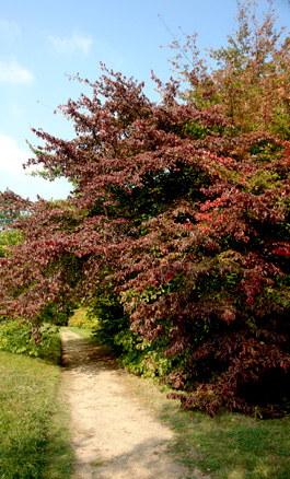Persian ironwood - Parrotia persica