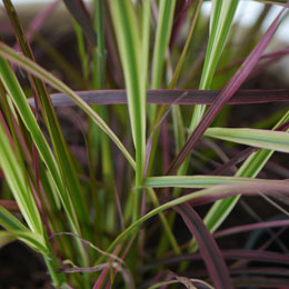 'Fireworks' Chinese fountain grass - Pennisetum setaceum 'Fireworks'