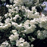 Virginal Mock orange - Philadelphus x virginalis 'Virginal'