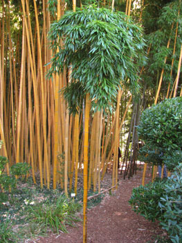 bamboo phyllostachys vivax aureo buy bamboo. Black Bedroom Furniture Sets. Home Design Ideas