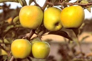 Apple tree 'Golden delicious'