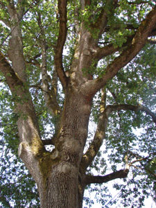 Garry oak or Oregon white oak - Quercus garryana