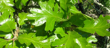 Garry oak or Oregon white oak - Quercus garryana - Foliage