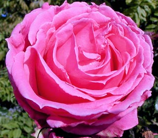 Best Place To Buy Rose Bushes Online