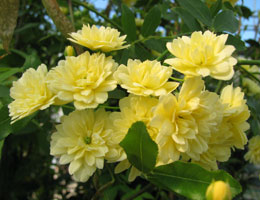 'Lutea' Lady Banks' Rose