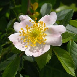 Dog Rose - Wild Rose - Rosa canina
