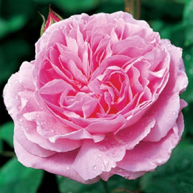 English Rose �Mary Rose�� (Ausmary)