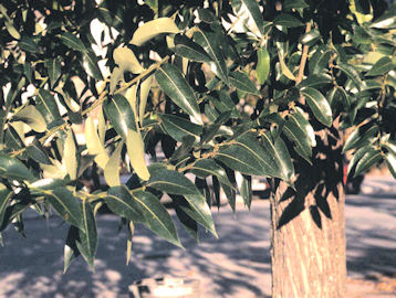 Laurel Willow - Salix pentandra ou salix laurifolia