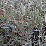 Purple Willow or Red Osier - Salix purpurea