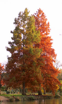 Bald Cypress - Swamp Cypress - Taxodium distichum